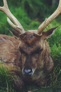 Michigan deer mating